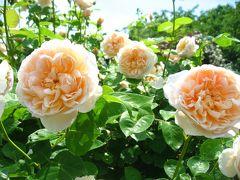 '15 春バラが見頃の京成バラ園へ3