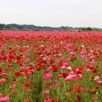 鴻巣花まつり/満開のポピー・ハッピースクエア