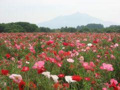 '15 関東鉄道常総線&真岡鉄道の旅1 新守谷駅~小貝川のポピー