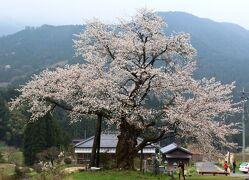 尾所大桜と5度目の逢瀬