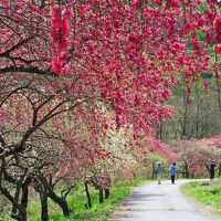 [花旅♪]春の花々を巡る2泊3日の旅(6)~山村の桃源郷〈一里花桃の里〉@信州武石余里