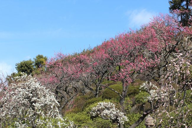 池上梅園の早咲きの梅が見頃となったので行ってきました。