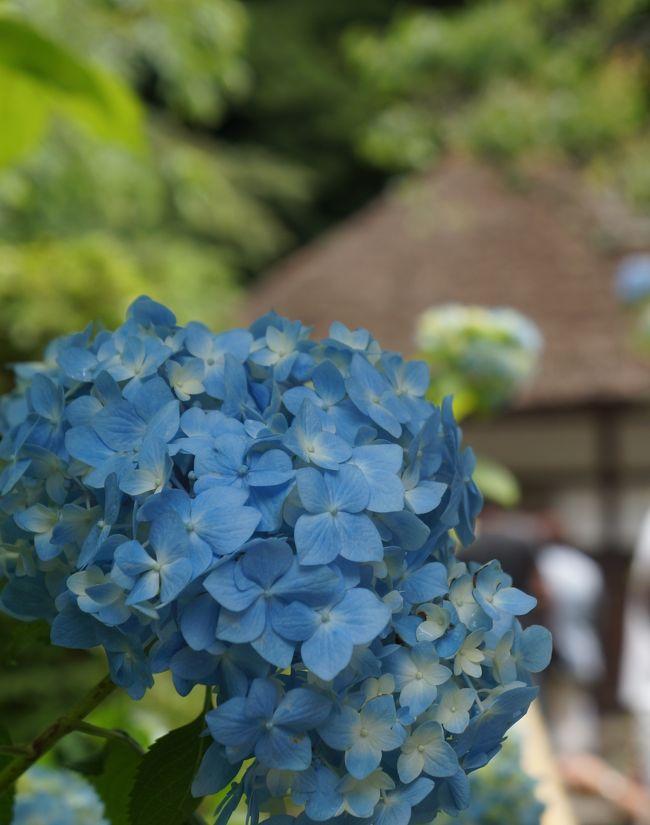6月に入りあじさいの季節になった。<br /><br />あじさいで有名な鎌倉明月院を調べると、その独特の淡い青色が、明月院ブルーと言われるそうでがぜん行きたくなった。<br /><br />一方、同じくあじさいで有名な成就院を調べると、参道の修復工事であじさいは2017年までお休みしますとあった。<br /><br />従って江の電コースの長谷寺中心はやめて、北鎌倉駅から、鎌倉駅までの散歩するコースとした。<br /><br />コース<br /><br />北鎌倉駅-明月院-建長寺-長寿禅寺-県立近代美術館鎌倉別館-鶴岡八幡宮の宝物殿-鏑木清方記念美術館(小町通り)-鎌倉駅<br />