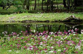 奥日光のんびりハイキング クリンソウ満開の花景色