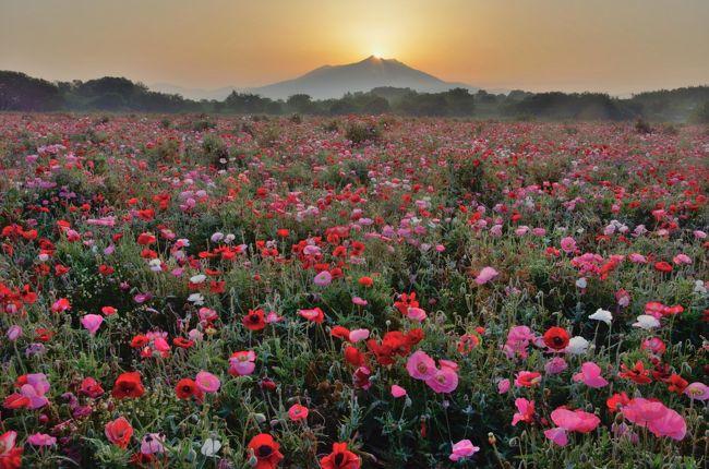 茨木県下妻市に河川敷を利用した広大な小貝川ふれあい公園がある。この公園は5月中旬から下旬には、1.9haのポピー畑が見頃を迎える。しかも、この時期には東にそびえる筑波山の頂上から太陽が昇るダイヤモンド筑波山が見られる。また運がよければ、しばしば小貝川から立ち昇る水蒸気が朝霧となって、早朝には、とても幻想的な光景が見られるところである。<br /> 一度はそんな光景を撮影したいと思っていたので、夜中に自宅を出発、車を飛ばして訪れてみた。残念ながら朝霧の発生は見られなかったが、昼間の花の公園とは趣が違ったフォトジェニックな情景を楽しめた。