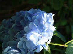 鎌倉からの紫陽花便り ~やっぱり人気!明月院~