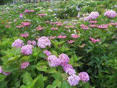 2015梅雨、尾張・三河の紫陽花巡り:茶屋ヶ坂公園(1/3):ベニガク、アナベル、渥美絞り
