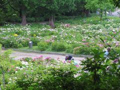 2015梅雨、尾張・三河の紫陽花巡り:茶屋ヶ坂公園(2/3):七段花、花火、紅額、アナベル、ミセス・クミコ