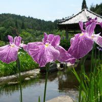 三田市永沢寺の花しょうぶ園 これから見頃をむかえる花菖蒲。