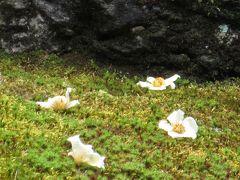 京都 初夏のお庭巡り <沙羅の花 と 半夏生> 2015年 6月