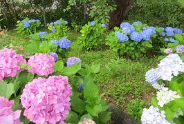 2015梅雨、尾張・三河の紫陽花巡り:東山植物園(3/4):額アジサイ、山アジサイ、手毬咲紫陽花