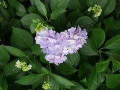 お花だいすき、あじさいさんぽ@大阪万博公園