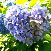 ハート型の紫陽花!? 飛鳥山公園の紫陽花と文化歴史を巡る 駅からハイキング