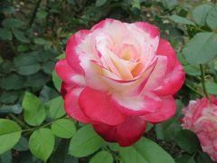 2015梅雨、東山動植物園(2/10):植物園:バラ