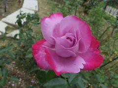 2015梅雨、東山動植物園(3/10):植物園:バラ