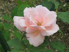 2015梅雨、東山動植物園(4/10):植物園:バラ