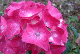 2015梅雨、尾張・三河の紫陽花巡り:三好公園(2/8):三好池、周回道路のアジサイ、トウネズミモチ、白蝶草、花蔓草