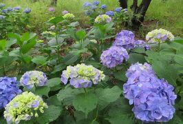 2015梅雨、尾張・三河の紫陽花巡り:三好公園(6/8):三好池、周回道路のアジサイ、木登り熊さん、笹の開花、夾竹桃