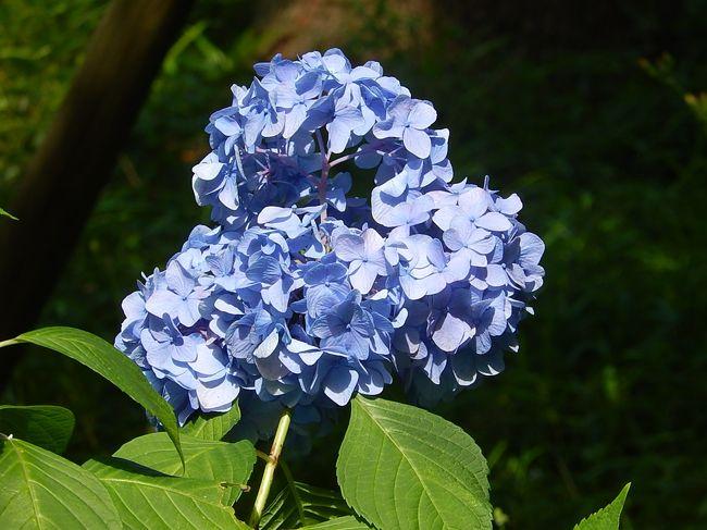 6月20日、午後2時に東御苑に到着してから、二の丸庭園で花ショウブを見た後、都道府県の木が植えられているところを通り、汐見坂より本丸に入り、アジサイを中心にホタルブクロ、ユキノシタ等の山野草を見て楽しんだ。<br /><br /><br /><br />*写真は富士見多門付近のアジサイ<br />