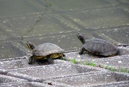 2015梅雨、尾張・三河の紫陽花巡り:三好公園(7/8):三好池、周回道路のアジサイ、枇杷、酔仙翁、庭薺、甲羅干しの亀