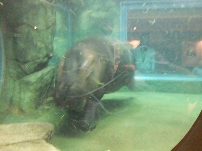 久しぶりに北海道に行ってきました。<br /> 娘に日本一活気のある動物園である旭山動物園を見せたくて、北海道旅行の2日目にいざ旭川へ!<br /> 北海道は広いのでレンタカーを借りる人が多いはずです。動物園に行くときの駐車場…有料へ導くおじさんが居ます。しかし、よっぽどのことがない限り、無料駐車場が空いていますので騙されないでください。こんなところでお金を払うのはもったいないです。<br /> この動物園のどこがスゴいのか…と言うと、動物の見せ方です。有名なのはオランウータン、アザラシですが、私のオススメはカバとテナガザルです。カバが水中で泳いでる姿を見たことがありますか?ここのカバは何故かアグレッシブに泳いでいます。その水中の行動が見られるカバ館は圧巻です。テナガザルの展示は高い位置を次々に移動する姿もさることながら、今は赤ちゃんが居るのが魅力です。赤ちゃんは親ザルほど移動に慣れていないので、親を追ってもある所で前へ進めなくなります。そんなときに赤ちゃんザルが「ウキー、ウキー」と鳴くと、親ザルが迎えに行って抱きかかえて移動してあげる姿が見られます。これが何とも微笑ましく、見飽きない。その他にもシロクマ、オオカミ、ユキヒョウ…などの工夫した展示があちこち。最近ではいろんな動物園が真似していますが、旭山動物園は一歩も二歩も進んでいます。そして、その展示を支えているのが、動きが活発な動物たち。ストレスが少ないのか、十分なスペースを与えられているのか…生き生きした動きを見せてくれます。どこぞの動物園に行くと、寝ている動物ばかり…で、面白みがないですが、旭山動物園の動物は違います。<br /> 動物園好きだけでなく、一度は訪れた方が良い場所です。