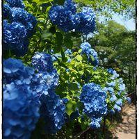 野趣あふれる伸び盛りの紫陽花たち ☆船岡城址公園☆