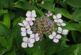2015梅雨、尾張・三河の紫陽花巡り:荒子川公園(1/5):アジサイ、西洋アジサイ、柏葉アジサイ、フサフジウツギ
