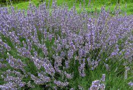 2015梅雨、尾張・三河の紫陽花巡り:荒子川公園(3/5):ラベンダー、アラビアンナイト、レース、ソーヤーズ