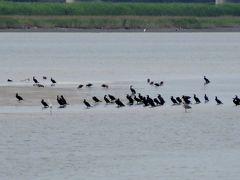2015梅雨、藤前干潟でのバード・ウォッチング(1/5):カワウ、ダイサギ、カルガモ、ドバト