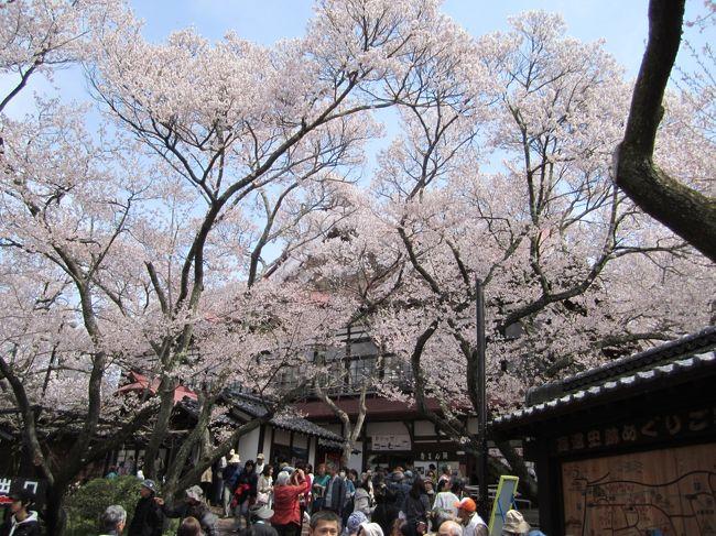 クラブツーリズムの「天下第一の高遠コヒガン桜と山高神代桜」の2泊3日で行ってきました。<br />ツアーで桜を見るのは実に日程が難しい。<br />ここ数年の開花状況をにらんで、とりあえずの予想で決めました。<br />高遠は早めに開花して、これでは葉桜になると思案していましたが、その後気温が下がりなんとか花もちして無事に花を見る事ができました。<br /><br />4月15日(水) <br /><br />京王プラザホテル  練馬IC   三芳SA  車内弁当 東部湯丸SA<br />        10:20      11:20 11:40        13:20<br /><br />あんずの里   湯田中温泉 あぶらや燈千<br />14:06 14:45      16:00<br />                                <br />16日(木)<br />ホテル  休憩    高遠城址公園  昼食ビストロ・ボンコパン<br />9:00   10:35 11:40 13:10  14:00  15:15<br /><br />光前寺  早太郎温泉 二人静   夕食  光前寺夜桜<br />15:20      16:00   19:00  20:30 20:50<br /><br />17日(金)<br />ホテル  実相寺(神代桜)  昼食素透撫 清春芸術村<br />9:00  10:30 11:00  11:30        14:00<br /><br />石川SA  新宿     <br /> 15:50 16:30 <br /><br />