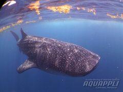 2015年 ジンベイザメのハイシーズンが到来しました!