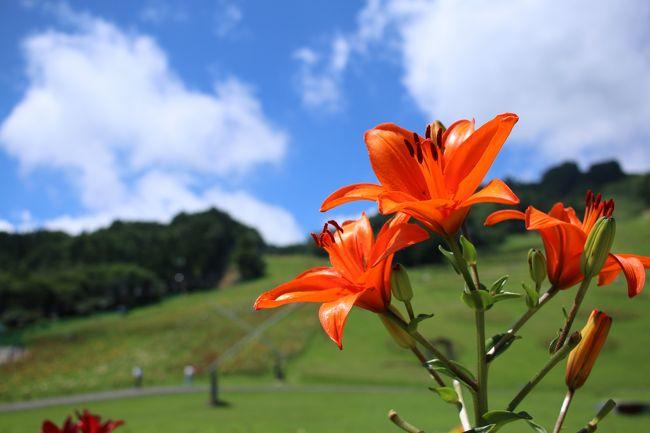 宍粟市千種高原にゆりの花を見に行ってきました。<br />昔はよくスキーに訪れていた千種高原ですが、ほんとに久しぶり。<br />先日の台風11号の影響で花が傷んでいたので、今一つではありましたが、<br />満開ならきれいだろうと思われます。<br /><br />こちら期間は7月11日〜8月23日となっております。<br />ゆりの花は、雨に濡れると自分の花粉が花びらに付いてしまい<br />傷んでしまうとのこと。<br />なので、見に行く時には日照り続きの方がよさそうです!!