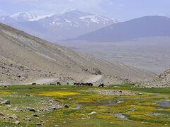 パミール高原縦断 山と花と人と 5ランガールからマルガブへ、(1)高山植物の大群落に出会う