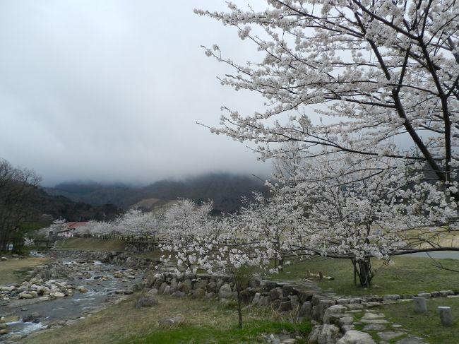 4月11日にもなると、さすがにソメイヨシノはほとんどの場所で散ってしまいます。<br />どこかで遅めの花見ができないかなと探していると、ヒットしたのが滋賀県北部にある『マキノ高原』でした。<br />その奥には滝もあるようなので、行ってみることにしました。<br />果たして花見はできたのでしょうか…??