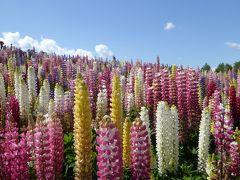 夏空・花の丘5days北海道(6) 6月の四季彩の丘はルピナス満開 思わず歌うよ、あの歌を。【美瑛編】