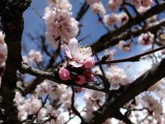 杏の花の満開の下(8日目)