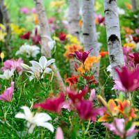 盛夏の季節、塩原温泉郷に避暑の旅へ【2】〜白樺の森を百花繚乱の百合が埋め尽くす・・・ ハンターマウンテンゆりパークへ♪〜