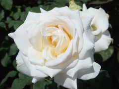 薔薇を見に行こう@広いぞ越後丘陵公園@