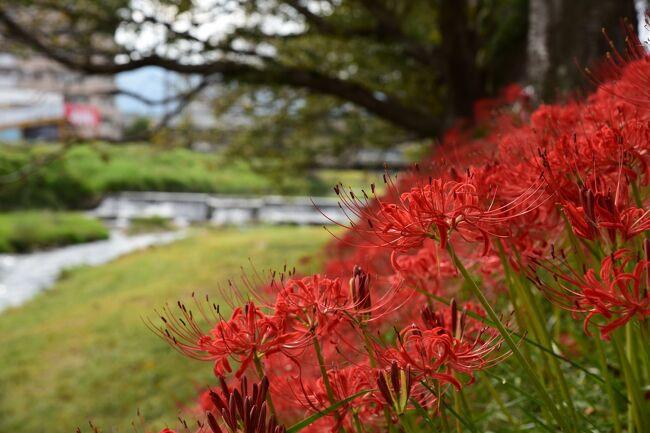 滋賀県大津市堅田を通る県道558号(旧国道161号線)にある真野川大橋の、琵琶湖に注ぐ真野川の堤防一帯では、秋になると真っ赤な彼岸花に彩られます。<br /><br />彼岸花の見所としてそれほど知られていない真野川ですが、法面を赤く染めるその姿は、緩やかな流れや青空と相まって、まるで燃えるようで、訪れる人も少ないこともあり、じっくり鑑賞することができます。<br /><br />この日は堅田の町歩きを兼ねて訪れましたが、今年は開花時期が早いこともあって、少しタイミングが遅かったようで、残念ながら燃え盛ると形容できる程ではありませんでしたが、彼岸花の穴場を見つけた気持ちになりました。