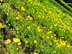 パミール高原縦断 山と花と人と 12サリタッシュを発ち、空路出発の地オシュへ。途中イエローポピーの大群落に出会い、遊牧民のユルトで馬乳酒をご馳走になる。