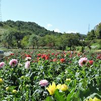 川西町ダリア園今年の花は大きいです。