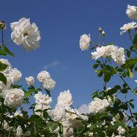 秋の薔薇を愉しむ@生田緑地ばら苑