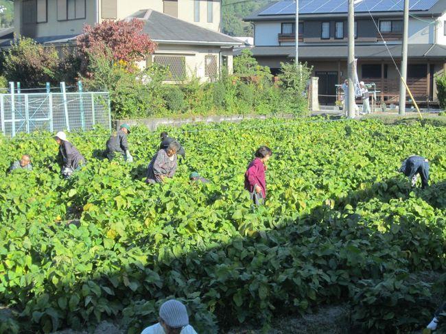 """毎年開催される原地区""""丹波黒大豆の枝豆""""の収穫イベント 最高!に参加してきました。<br /> 昨日の予報では雨のはずが朝から秋晴れの晴天に恵まれ最高の収穫日和でした。  9時から始まるはずですがが早く沢山の方が早くから並ぶので少し早く始まったようです。受付で料金(一株400円)を支払い担当の人に希望の株を切ってもらい、空き地で丹波黒大豆を自分でもぎ取り持ち帰るシステムです、現場で枝豆をゆでて試食できます、取り立ての丹波黒豆をすぐその場で茹でるのですから最高に美味しいのは言うまでもありません。"""