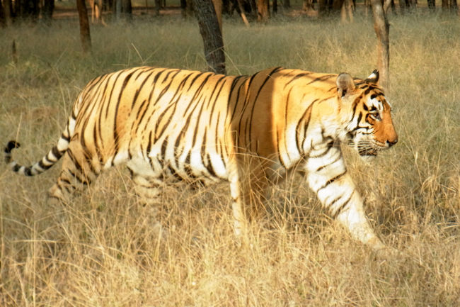 チョロ?チャロ?印度の旅:ランタンボール国立公園