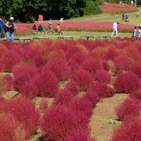 晴天の秋空の下 コキア色付き 赤ソバの咲く 国営武蔵丘陵森林公園 上