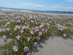 出勤前に、ちょっと寄り道しました vol.19 「野蒜海岸のハマヒルガオが咲く頃」  ~東松島・宮城~