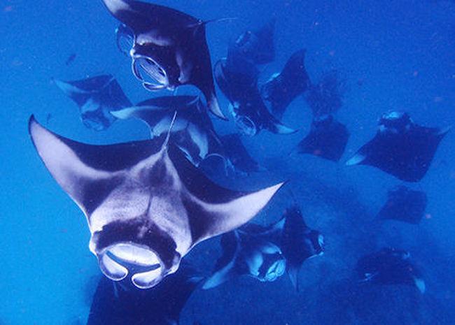 今月中旬モルディブバア環礁マンタ玉を見るダイビングクルースサファリーに、行っ
