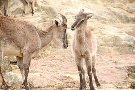 シルバーウィーク前に優雅に3泊3日の南紀白浜アドベンチャーワールド三昧2015(8)ケニア号とウォーキングでじっくり楽しんだサファリワールド~バイソンとキリンとゴールデンターキンとヒマラヤタールには赤ちゃんたちも!