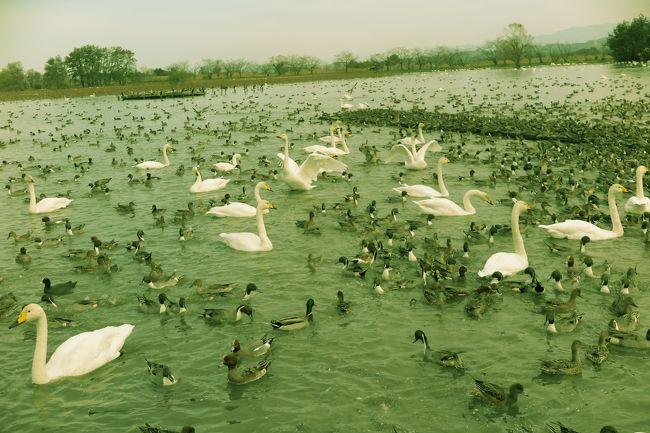 """新潟に行って来ました。。。<br /><br />だんなさんが東京に出張だったため。。。<br /><br />何処か、東京より北に行きたいねぇということで旅行を計画。。。<br /><br />まだ行ったことの無い新潟を検索すると。。。<br /><br />瓢湖に白鳥が飛来してるとの情報をキャッチしました。。。<br /><br />それに加えて。。。海の幸・地酒・こしひかりとグルメも満載。。。<br /><br />これは。。。""""行かなくっちゃー""""で。。。<br /><br />2泊3日で、初めての新潟旅行を楽しんできました~<br /><br />1日目は。。。<br /><br />瓢湖の白鳥と新潟グルメを楽しみ。。。新潟市内に宿泊しました。<br /><br />2日目は。。。<br /><br />新潟市内の観光と彌彦神社の参拝をして。。。丸山温泉に宿泊しました。<br /><br />3日目は。。。<br /><br />南魚沼の寺社仏閣巡りと牧之通りの観光をして。。。<br /><br />越後湯沢より。。。帰宅しました。。。<br /><br />この旅行記は。。。<br /><br />瓢湖の白鳥と新潟グルメ、新潟市内の観光と、彌彦神社参拝の様子です。<br /><br /><br />宜しかったら、見てください (=^・^=)<br /><br />"""