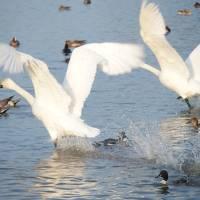 白鳥の瓢湖
